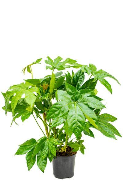 fatsia japonica_blommehuske_kamerplanten