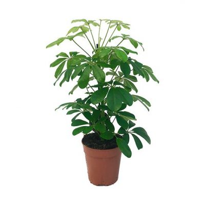 Schefflera arboricola 50 cm